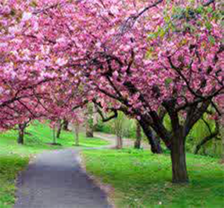 Cherries Blooming